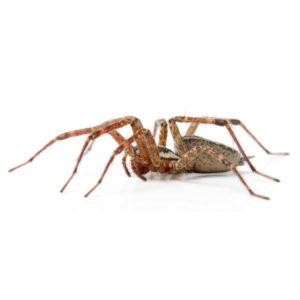 Idaho Falls Hobo Spider Control
